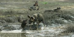 Wild dog - pack playing and bathing in riverbed, medium shot
