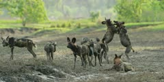 Wild dog - pack play fighting in riverbed, medium wide shot
