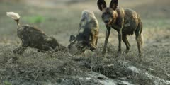 Wild dog - mother regurgitating food for pup