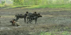 Wild dog - pair mating in riverbed, medium wide shot