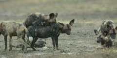Wild dog - pair mating in riverbed, medium shot