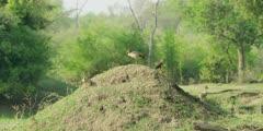 Egyptian goose - three geese on mound, wide