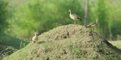 Egyptian goose - three geese on mound, medium