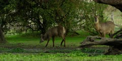 Waterbuck - pair under tree next to pool