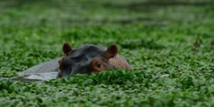 Hippo - big bull in hyacinth, watching, medium shot 2