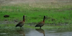 White-faced whistling duck - pair standing in pool, medium wide shot