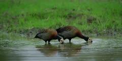 White-faced whistling duck - pair feeding, medium wide shot
