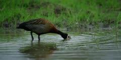 White-faced whistling duck - feeding, medium shot