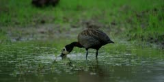 White-faced whistling duck - feeding, from behind, medium shot