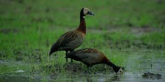 White-faced whistling duck - pair, one standing, one feeding, medium shot