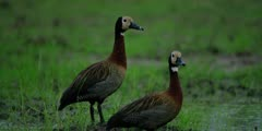 White-faced whistling duck - pair standing, close shot
