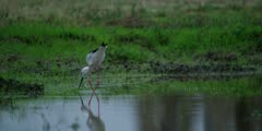 Black-winged stilt - foraging at dusk, medium shot