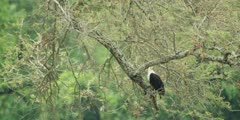 African fish eagle - perched in tree, medium wide shot