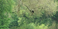 African fish eagle - perched in tree, wide shot