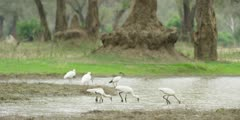 Spoonbill - flock hunting for food, wide shot