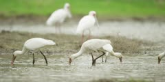 Spoonbill - flock hunting for food, medium shot 2
