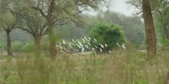 Cattle egret flock flying through forest