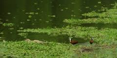 African jacana - pair on hyacinth at edge of pool feeding, wide shot
