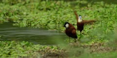 African jacana - pair bathing and preening