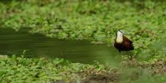 African jacana - preening