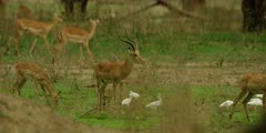 Impala - herd in thick forest, with cattle egrets, medium shot