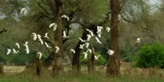Cattle egret flock takes off and flies away through forest