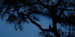 Chacma Baboon - in tree at night