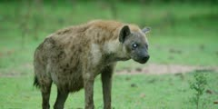 Hyena - old with one white, blind eye, medium shot