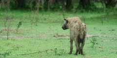 Hyena - old with one white, blind eye, facing away, medium shot