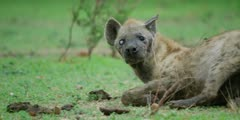 Hyena - old with one white, blind eye, lies down, close shot