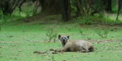 Hyena - old with one white, blind eye, lying down, medium wide shot
