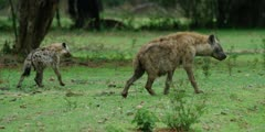 Hyena - one old one young, walking away