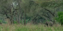 African Elephant - bull in forest, very wide shot