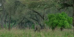 African Elephant - bull in forest, wide shot