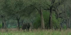 African Elephant - bull in forest, wide shot 2