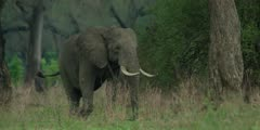 African Elephant - bull in forest, medium shot, approaching