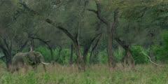African Elephant - bull in forest, wide shot, walks across frame