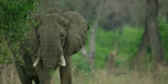 African Elephant - bull in forest, close shot