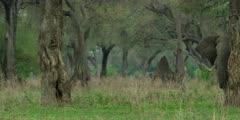 African Elephant - behind tree