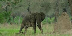 African Elephant - bull in forest, medium shot, walks into frame