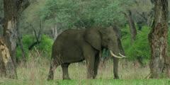African Elephant - bull in forest, medium shot, framed by trees