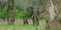 African Elephant - bull in forest, medium shot
