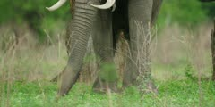 African Elephant - bull in forest, feeding, close of trunk