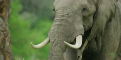 African Elephant - bull in forest, approaching, flapping ears, close
