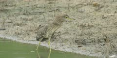 Immature black-crowned night heron, medium shot