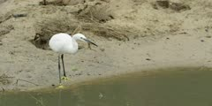 Little egret - standing on bank of stream, medium shot