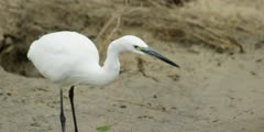 Little egret - standing on bank of stream, close shot