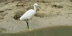 Little egret - standing on bank of stream, walks out of frame, medium shot
