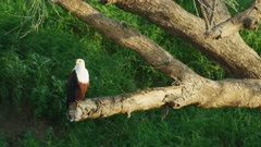 African Fish eagle perched next to river