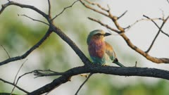 Lilac-breasted roller (Coracias caudatus) perched on branch